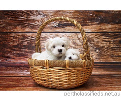 Maltese puppies looking for home