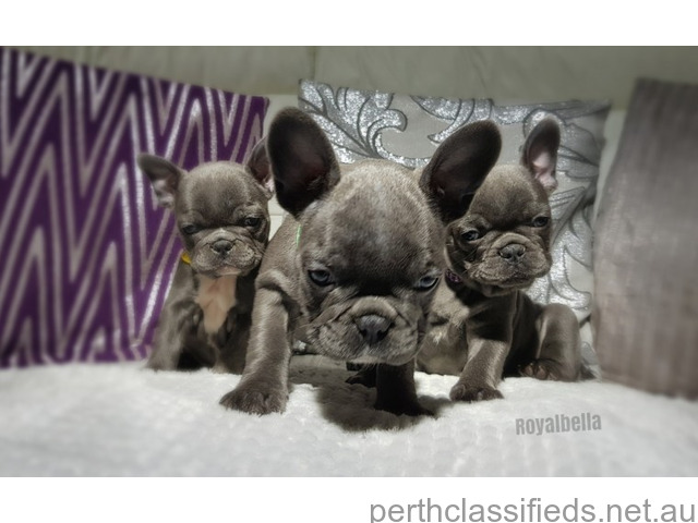 Blue tans and blue French bulldogs - 1